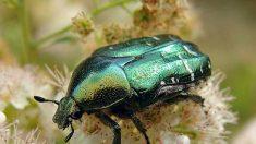 63% de familias de escarabajos sobrevivieron la extinción desde hace 250 millones de años