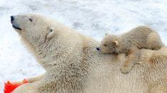 Alertan por falta de comida para osos polares