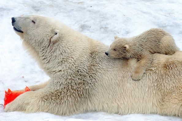 Osos polares en el zoológico de Moscú. (ALEXANDER UTKIN/AFP/Getty Images)