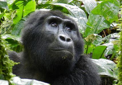 Gorila, uno de los grandes hervívoros en peligro de extinción. (Peter Stoel, Universidad E. Oregon)