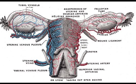 Imagen del útero y ovarios, del libro de Henry Vandyke Carter - Henry Gray (1918): Anatomy of the Human Body .(Wikimedia Commons)