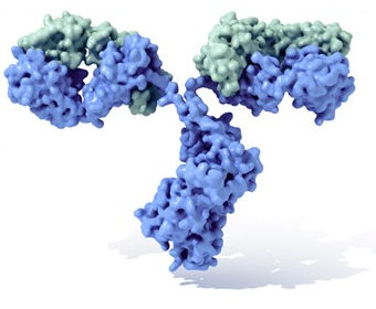 """Molécula de inmunoglobulina con su típica forma de Y. En azul se observan las cadenas pesadas con cuatro dominios Ig, mientras que en verde se muestran las cadenas ligeras. Entre el tallo (Fracción constante, Fc) y las ramas (Fab) existe una parte más delgada conocida como """"región bisagra"""" . (Wikimedia Commons)"""