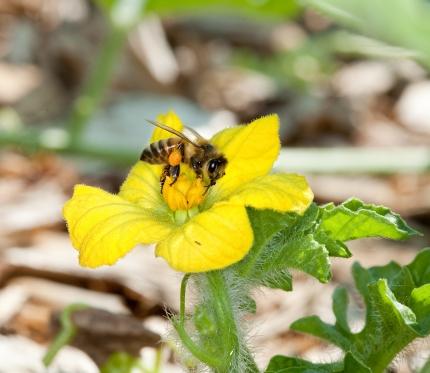 Una abeja de la miel, con polen unido a su pata trasera, polinizando una flor sandía. (Stephen Ausmus / USDA)