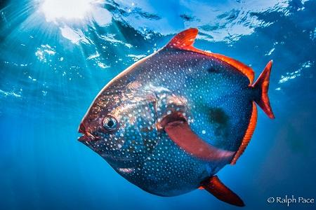Pez Luna (Opah) sangre caliente como los mamíferos, lo que le permite ser un depredador ágil en las profundidades ( NOAA)
