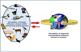 Los virus de influenza circulan en el mundo en manera habitual. )(OMS)