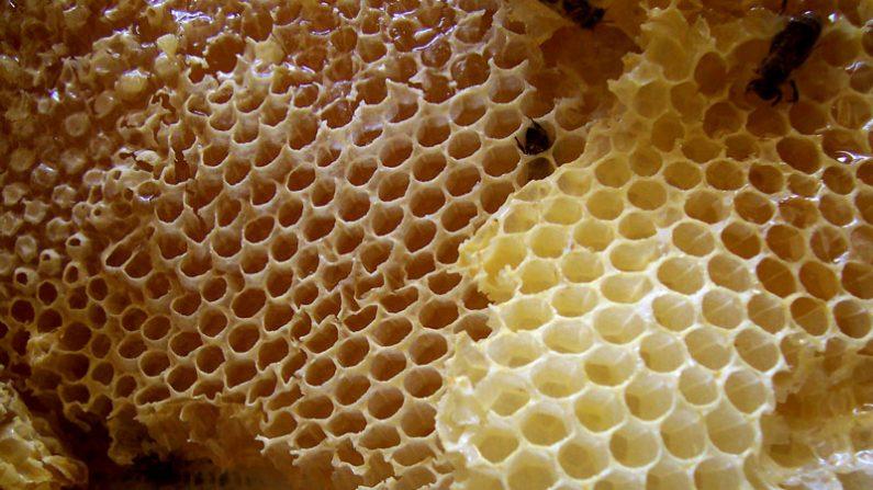 Abejas en un panal natural de producción de miel. ( Wikimedia Commons)