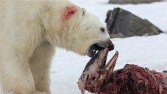 El caliente Ártico atrae delfines, nuevo menú de osos polares