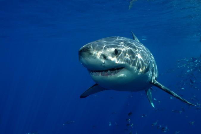 Los 10 tiburones más peligrosos del mundo
