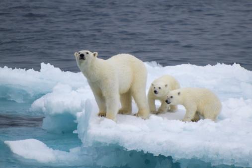Científicos rusos llevan una semana encerrados por osos polares  (Vadim Balakin / Getty Images)