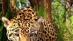 Nuevas medidas para salvar los 250 yaguaretés que quedan en Argentina