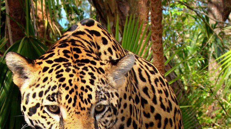 """Yaguareté quiere decir """"la verdadera fiera"""" en el idioma guaraní, también conocido como jaguar o panthera onca (Foto:  Wikimedia Commons)"""