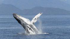 Las ballenas también tienen acento (Video)