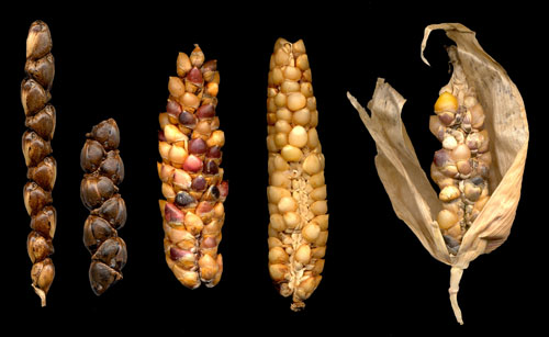 """Espiga femenina de teocintle con """"frutos"""" en arreglo dístico (A-B) (Zea mays subsp. mexicana raza Mesa Central) e híbridos de teocintle y maíz (C-F)(Material colectado por el Dr. Ariel Álvarez, en Erongarícuaro, Michoacán (M. Hernández/Biodiversidad-Gov-México)"""