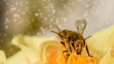 """Científicos observan cómo las abejas """"vacunan"""" y transfieren inmunidad a sus hijos"""