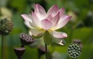 El loto sagrado ha sido un símbolo de inmortalidad y resurrección. (Syl Lebar)