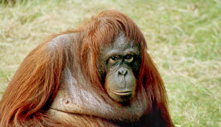 """Los orangutanes son particularmente inteligentes y algunos científicos aseguran que los más inteligentes de todos los monos, alcanzando incluso rarezas como la existencia de distintas """"culturas"""" entre las subespecies. Foto: Wikimedia Commons."""