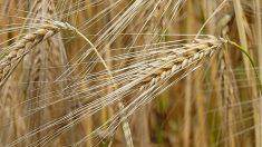 Potencial de especies silvestres se confirma con el genoma de la cebada