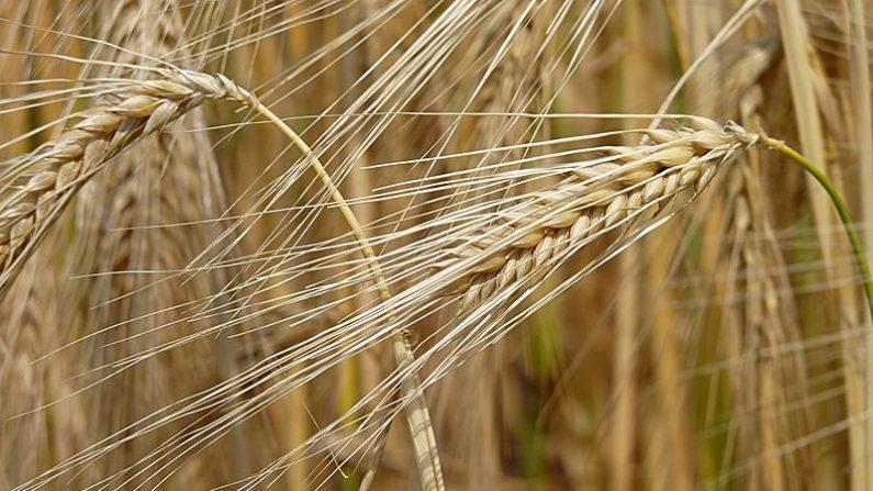 Cebada en Bélgica. Planta Hordeum vulgare (Barley). (Wikimedia Commons)