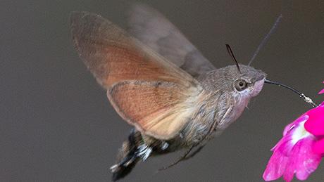 Enfinge colibrí (o Macroglossum stellatarum), chupando el néctar de una flor. El insecto recibe el nombre por su semejanza al colibrí. (Wikimedia Commons)