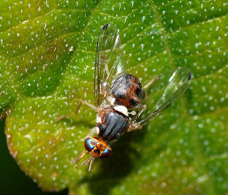 Oxitec se retira: Cataluña rechazó mosca de oliva transgénica