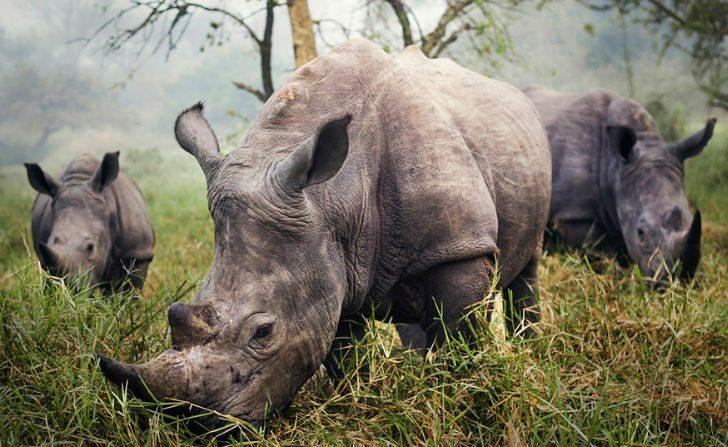 "Mérito: ""Rinocerontes blancos"", Ziwa Rhino Sanctuary, Uganda, por Stefane Berube"