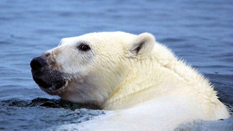 Un oso polar (Ursus maritimus), un miembro de la familia Ursidae (en.wikipedia.org)
