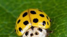 Mayoría de escarabajos sobrevivieron la extinción masiva hace 250 millones de años