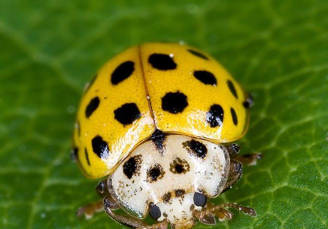 Insecto artrópodo Cetonia aurata, un Coleóptero del suborden Poliphaga. Ninguna de sus familias resultaron extintas desde hace 250 millones de años. (Rose Chaffer - Wikimedia Commons)