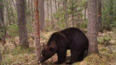 Los osos del Pirineo atrasan su hibernación por un cálido invierno