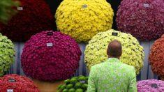 Té de crisantemo para desintoxicar y revitalizar el cuerpo