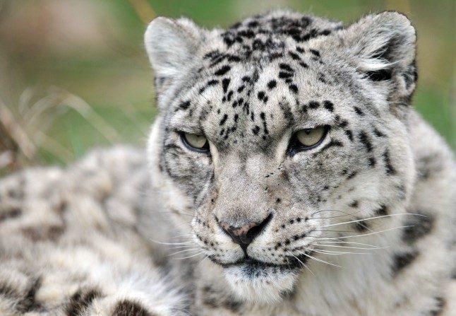 Un leopardo de las nieves (Panthera uncia) en el centro NABU (Nature and Biodiversity Conservation Union), una organización alemana que pretende reintroducir el felino y lucha contra la caza furtiva, cerca del lago Issyk Kul, en las afueras del pueblo Semenovka, unos 330 kilómetros al sureste de Bishkek, capital de Kirguistán, el 17 de abril de 2015. (VYACHESLAV OSELEDKO/AFP/Getty Images)