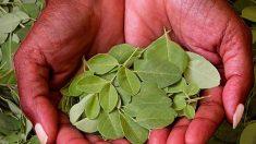 ¿Cuáles son los beneficios de la moringa oleifera?