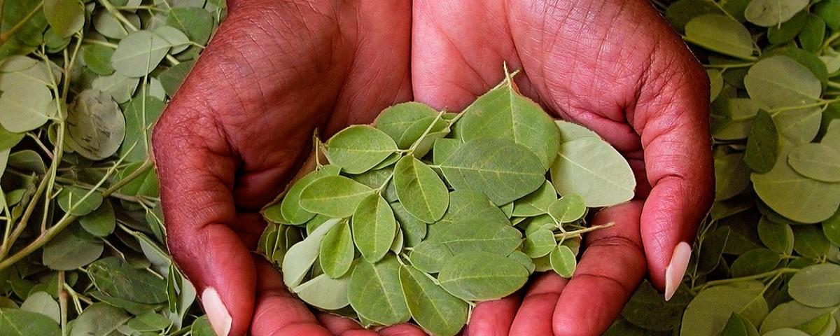 5 razones para consumir moringa, el árbol que promete luchar contra el hambre