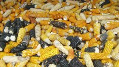 Indígenas mayas triunfan: México prohíbe plantar soja transgénica de Monsanto sin consultarles