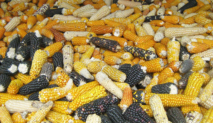 Diferentes tipos de maíz. (Foto: Wikimedia Commons)