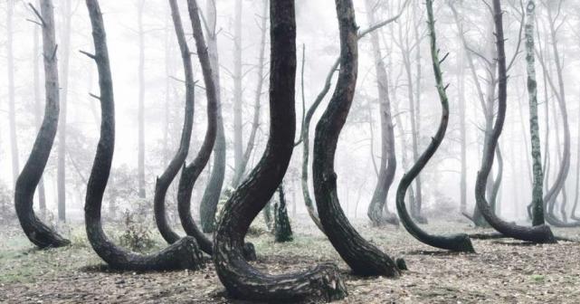 Este misterioso bosque es el hogar de 400 extraños y torcidos árboles