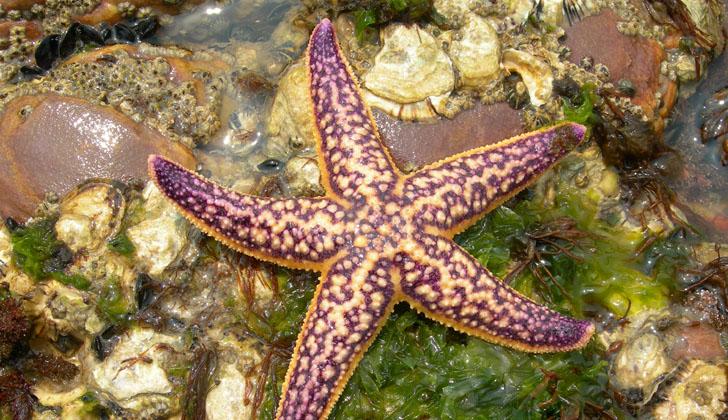 Estrella de mar del Pacífico Norte, una de las tantas en peligro de extinción. Foto: Wikimedia Commons.
