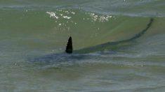 Observan gran cantidad de tiburones no comunes en la costa norte de Chile