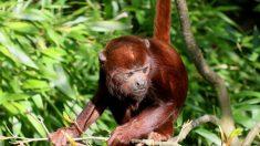 Perra de un solo ojo adopta a un mono bebé huérfano tras salvarlo de una manada de perros