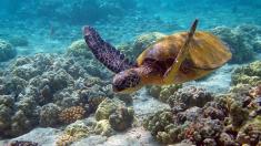 Comienza la llegada de tortugas marinas a las playas de Puerto Rico