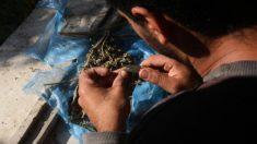 Científicos alertan por notables daños cerebrales por el consumo de la marihuana