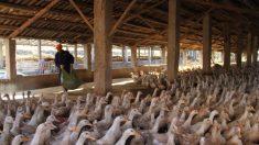 Mujer muere por gripe aviar en el sur de China, una más en estado crítico