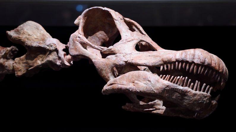 Hallan fósil de dinosaurio en oeste de India. (DON EMMERT/AFP/Getty Images)