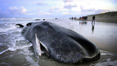 Cinco cachalotes varados en la costa de Holanda