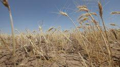 El clima y los mercados condicionan la cosecha en Argentina