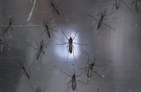 Mosquito vector del virus del zika. (Foto by Mario Tama/Getty Images)