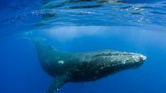 Científicos colocan cámaras en ballenas jorobadas para estudiar su comportamiento