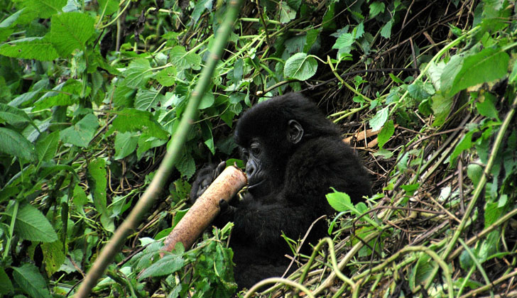 Un jóven gorila de montaña. Foto: Wikimedia Commons.