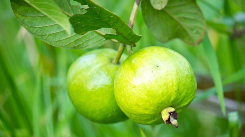 Guayaba frutos. (Foto: Pixabay)
