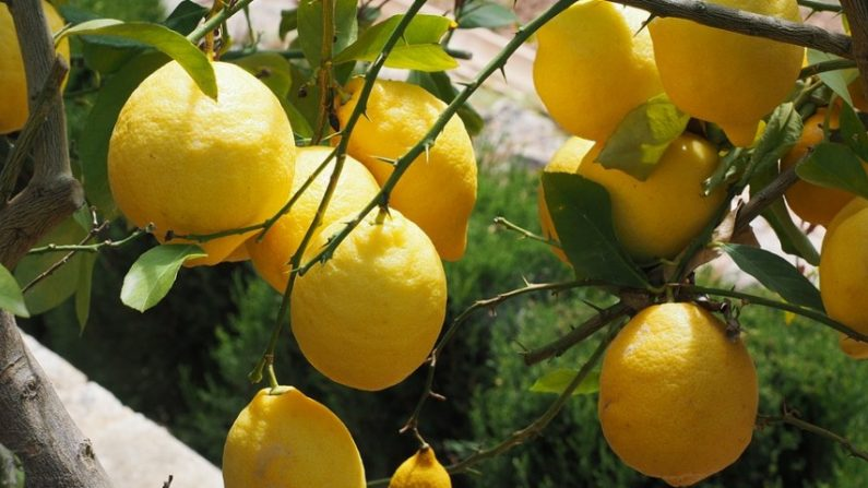 Resultado de imagen para Cómo plantar limon